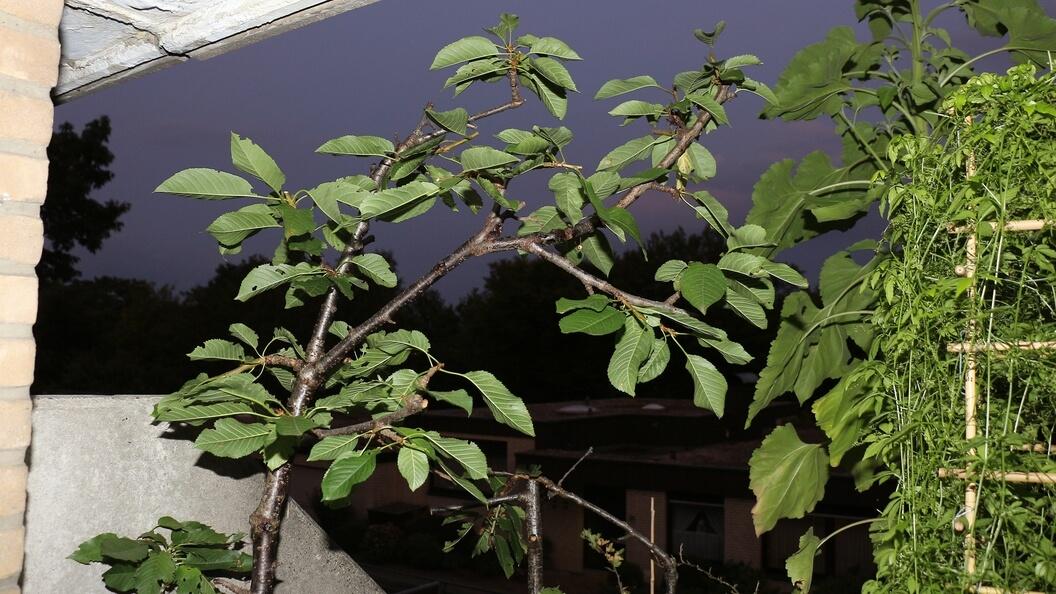 Bäume stutzen – nach der Ernte zurück geschnittener Stabkirschbaum