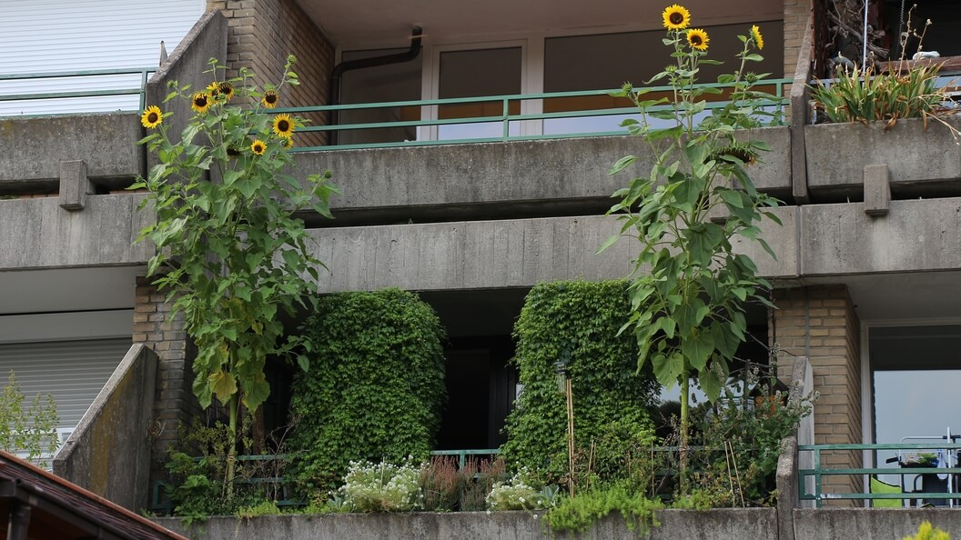 Drei Meter hohe Sonnenblumen auf dem Balkon vom Gartenfaultier