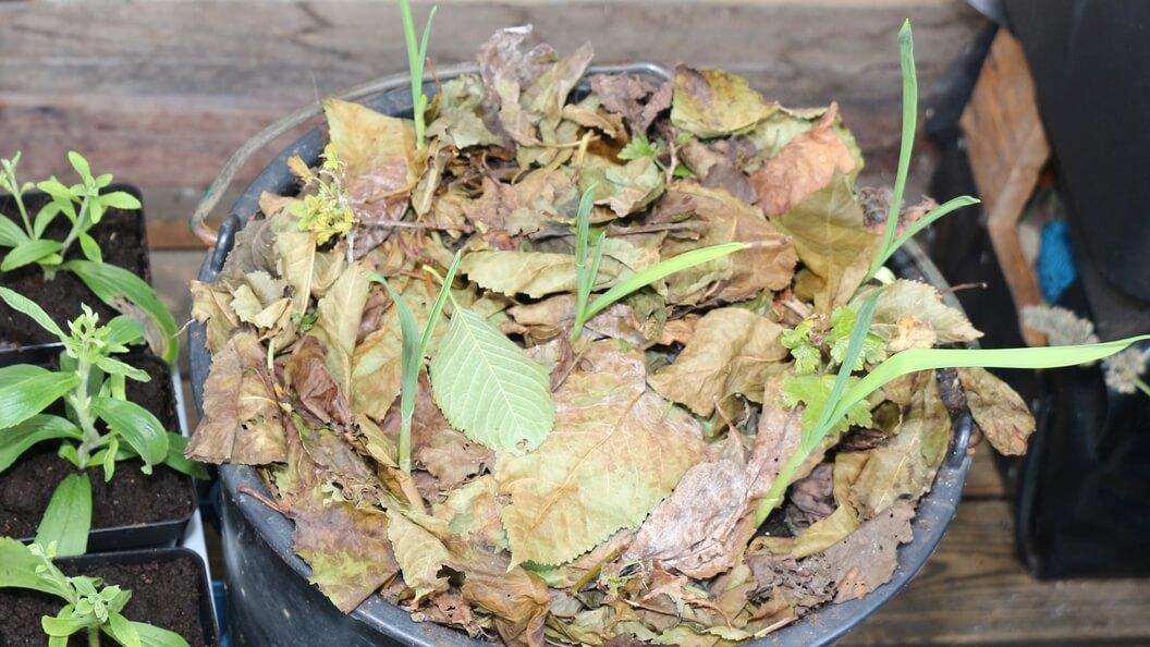 Knoblauch im Pflanzeimer sondert Stoffe an den Boden ab
