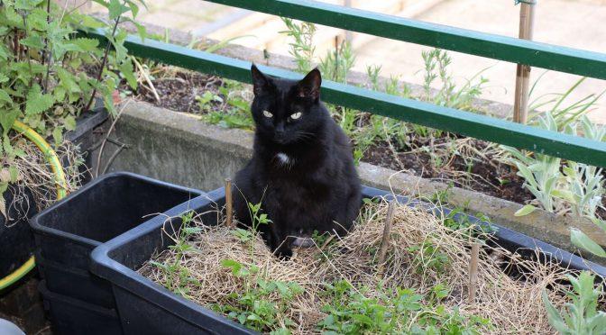 Garten Mulchen – schwarze Katze im Pflanzkübel mit Mulchschicht