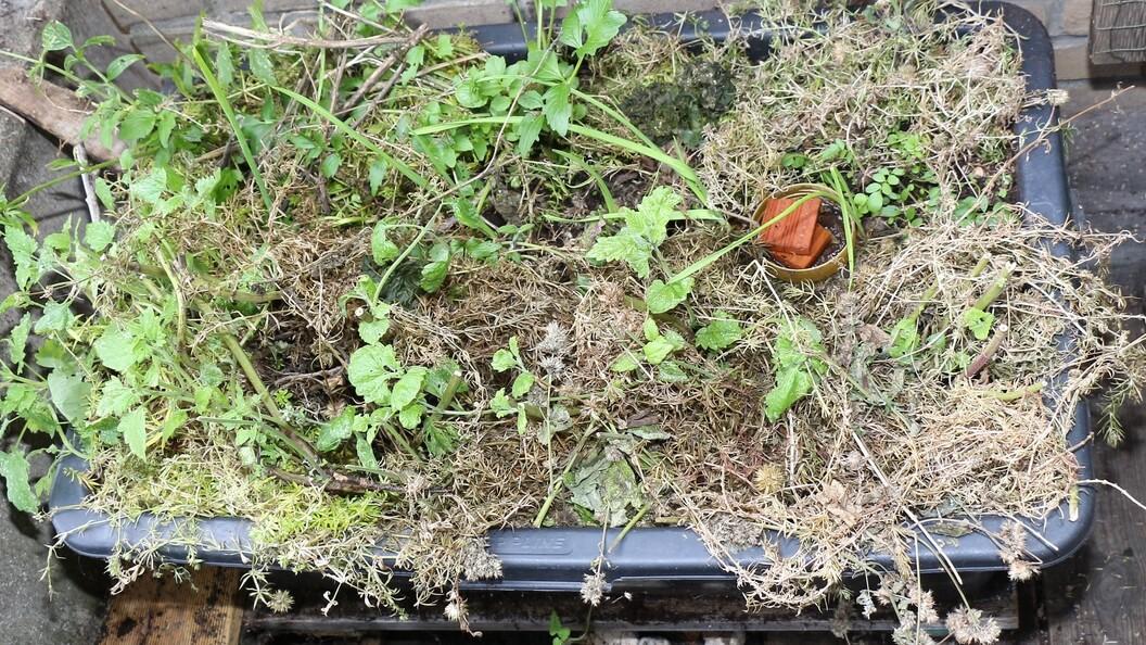 Gemulchter Pflanzenkübel mit Baldrian und Katzenminze
