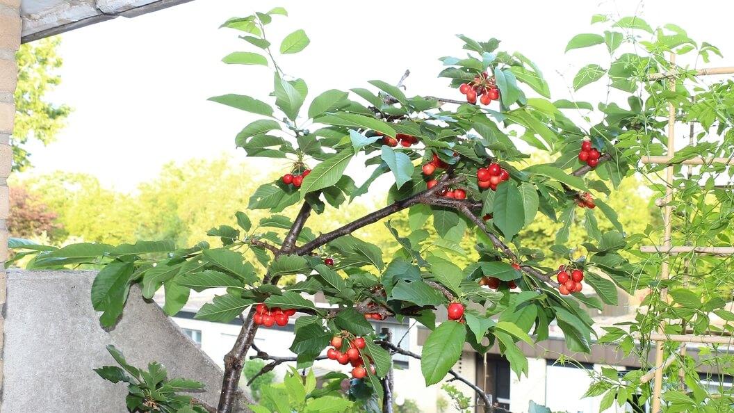 Stabkirschbaum mit reifenden Kirschen