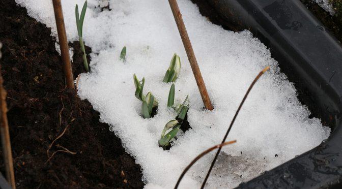 Schneeköckchen setzen trotz Schneedecke zur Blüte an