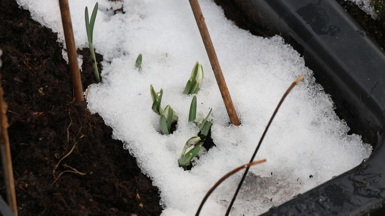 Schneeglöckchen pflanzen