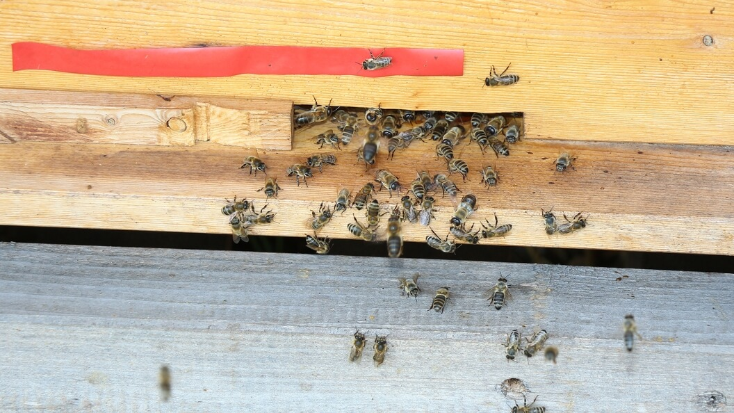 Gewöhnliche Honigbienen vor dem Ausgang vom Bienenstock