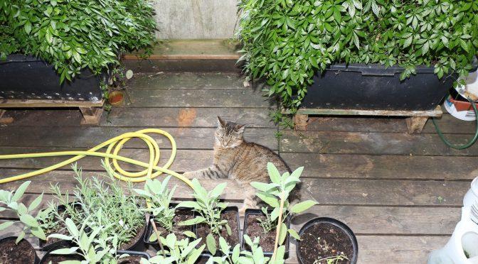 Grau getigerte Katze liegt auf dem Balkonboden vor dem Jiaogulan Tee