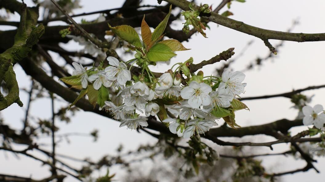 Der Kirschbaum blüht, bevor er seine Blätter richtig ausbildet