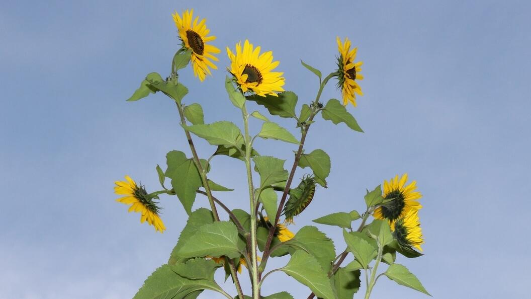 Sonnenblume als Winterfütterung, Blüten vor blauem Sommerhimmel