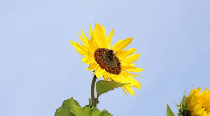 Bienenweide ganzjährig – die Sonnenblumenblüte darf nicht fehlen