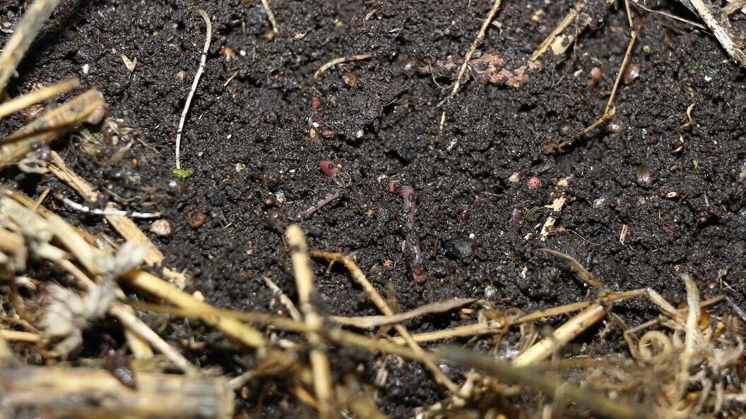 Würmer in lockerer Humuserde, Mulchschicht zur Seite geschoben