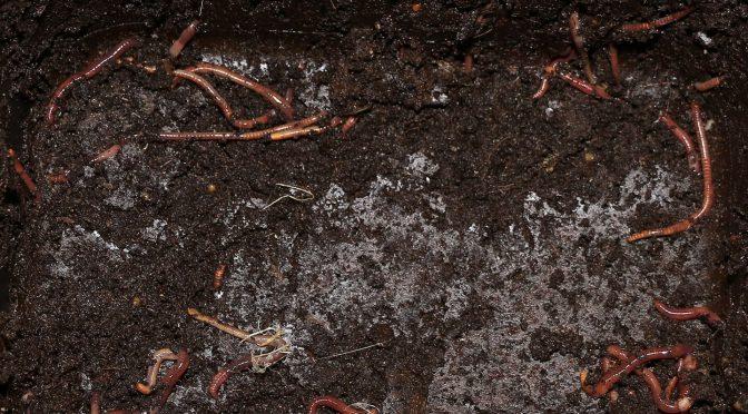 Würmer im verfestigten Wurmhumus