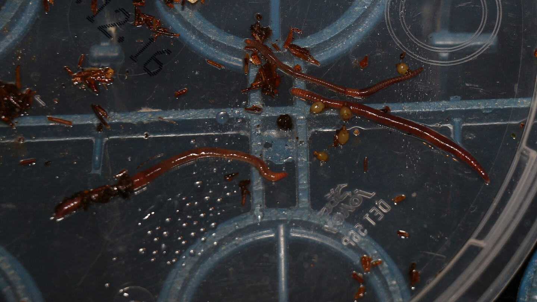 Würmer für die Wurmfarm gewinnen