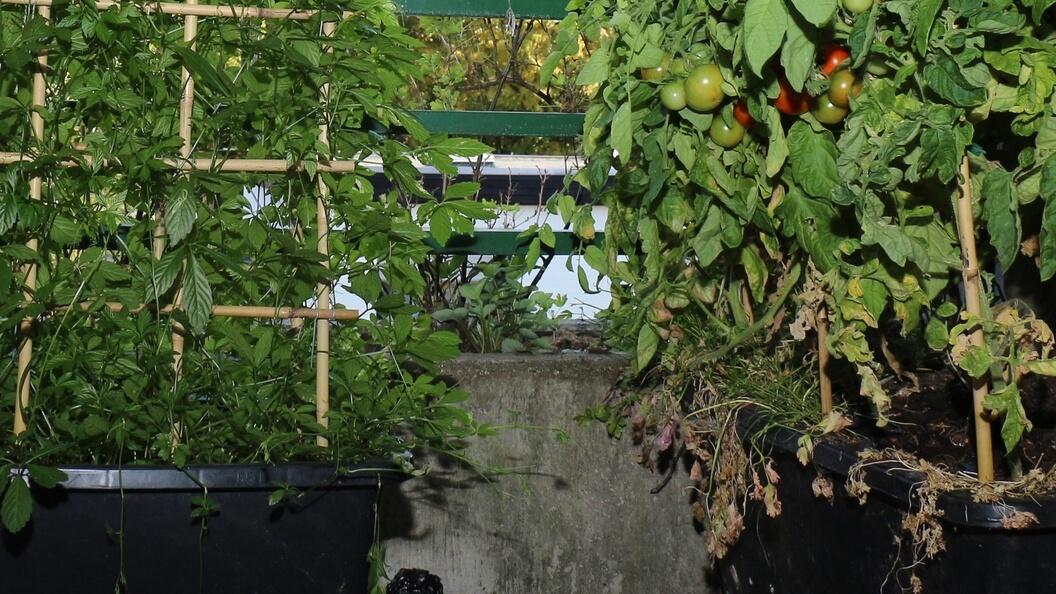 Gelochte Zementkübel mit Jiaogulan-Tee und Tomaten