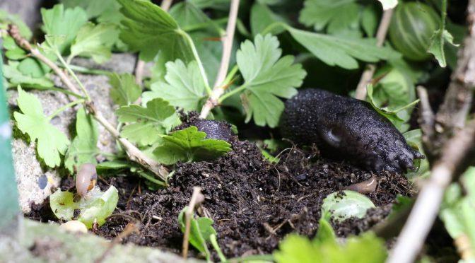 Schwarzer Schnegel und andere Nacktschnecken fressen Stachelbeeren